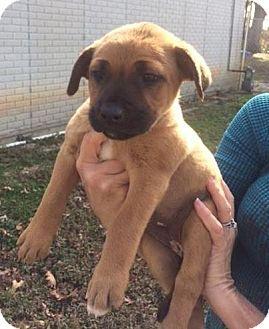 Boxer Puppy for adoption in Danbury, Connecticut - Bubbles