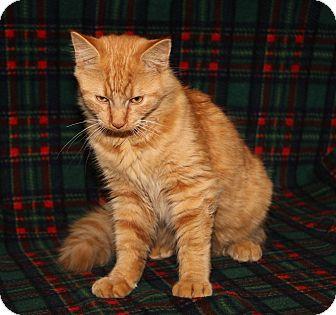 Domestic Mediumhair Cat for adoption in Marietta, Ohio - Tristan (Neutered)