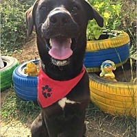 Labrador Retriever Mix Dog for adoption in Arlington, Massachusetts - Jessie