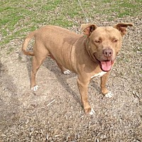 American Staffordshire Terrier Mix Dog for adoption in Tom Bean, Texas - Dos Equis (aka CoCo)