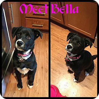 Border Collie/Shepherd (Unknown Type) Mix Puppy for adoption in Fredericksburg, Virginia - Bella
