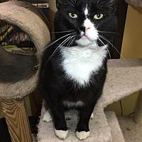 Adopt A Pet :: Boots - Blasdell, NY
