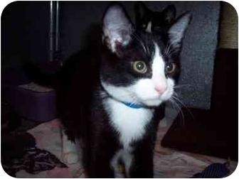 Domestic Shorthair Cat for adoption in Medina, Ohio - Yoshi