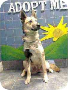 German Shepherd Dog/Alaskan Malamute Mix Dog for adoption in Stafford Springs, Connecticut - Baby girl