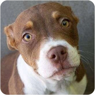 American Pit Bull Terrier Mix Puppy for adoption in Berkeley, California - Franny