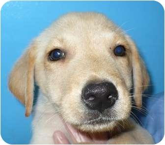 Labrador Retriever/German Shepherd Dog Mix Puppy for adoption in Eastpoint, Florida - Lancelot