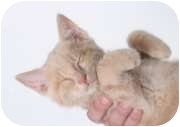 Domestic Shorthair Cat for adoption in Breinigsville, Pennsylvania - Ray