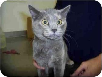 Domestic Shorthair Kitten for adoption in San Clemente, California - DANDEE