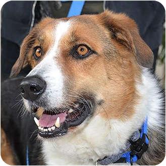 Border Collie/Hound (Unknown Type) Mix Dog for adoption in Vista, California - Tucker