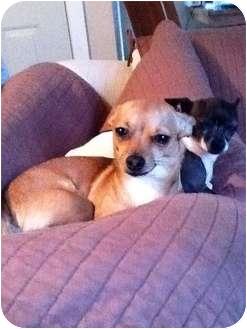 Chihuahua Mix Dog for adoption in Bellingham, Washington - Mya
