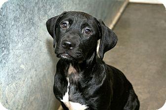 Hound (Unknown Type)/Labrador Retriever Mix Puppy for adoption in Kalamazoo, Michigan - Elywn