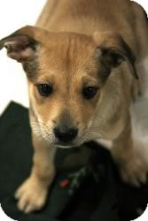 German Shepherd Dog/Basset Hound Mix Puppy for adoption in Alpharetta, Georgia - John Lennon