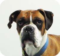 Boxer Dog for adoption in Reno, Nevada - Archer