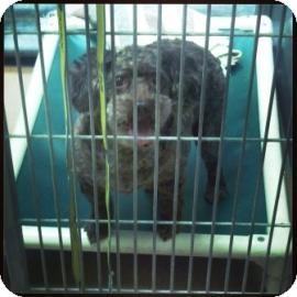 Miniature Poodle Mix Dog for adoption in Columbus, Georgia - Poo Bear 1118