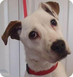 Boxer/Labrador Retriever Mix Puppy for adoption in Chapel Hill, North Carolina - Pup Pup