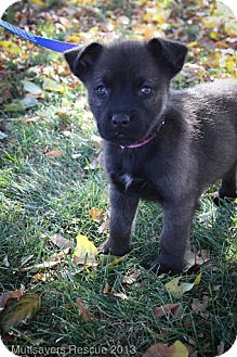 Husky Mix Puppy for adoption in Broomfield, Colorado - DayTripper