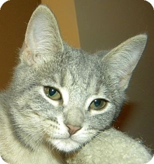 Domestic Shorthair Kitten for adoption in Green Bay, Wisconsin - Dini