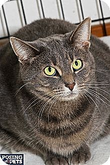 Domestic Shorthair Cat for adoption in Salem, Ohio - Shadow