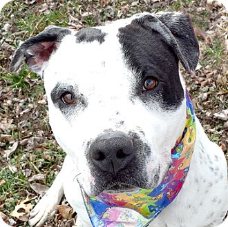Dalmatian/Pit Bull Terrier Mix Dog for adoption in Cincinnati, Ohio - Frankie