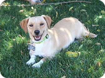 Dachshund/Beagle Mix Dog for adoption in Los Angeles, California - Angel- adoption pending
