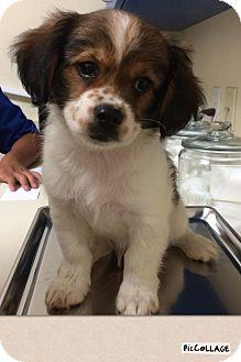 Cavalier King Charles Spaniel/Dachshund Mix Puppy for adoption in Brea, California - Luke