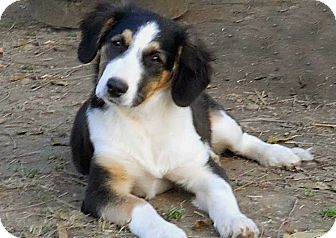 Collie Mix Puppy for adoption in Salem, New Hampshire - PUPPY INDIA
