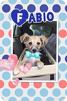 Dachshund/Terrier (Unknown Type, Small) Mix Puppy for adoption in Rancho Cucamonga, California - Fabio