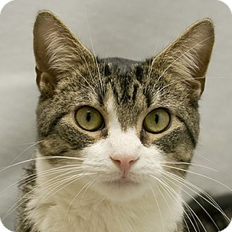 Domestic Longhair Cat for adoption in Cary, North Carolina - Skeeter
