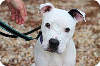Pit Bull Terrier Mix Dog for adoption in Jackson, New Jersey - Kane