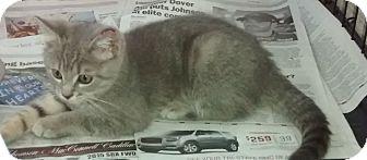 Domestic Shorthair Kitten for adoption in Covington, Kentucky - Dexter