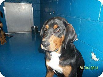 Hound (Unknown Type) Mix Dog for adoption in Newburgh, Indiana - Buck