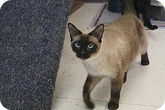 Siamese Cat for adoption in Pittsburg, Kansas - Fiona