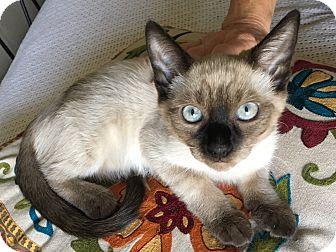 Siamese Kitten for adoption in Oakdale, California - Jasmine