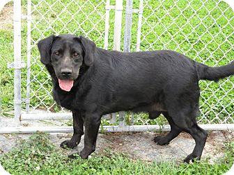 Labrador Retriever Mix Dog for adoption in Liberty Center, Ohio - Ben