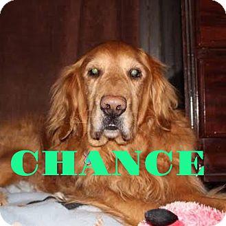 Golden Retriever Dog for adoption in Grand Ledge, Michigan - Chance