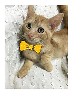 Domestic Shorthair Kitten for adoption in Paducah, Kentucky - Ivan