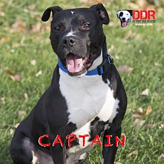 American Pit Bull Terrier Mix Dog for adoption in St. Clair Shores, Michigan - Captain