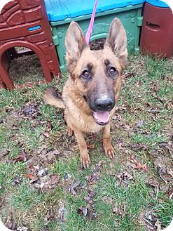 German Shepherd Dog Dog for adoption in Louisville, Kentucky - Sassy
