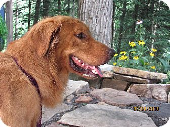 Golden Retriever Dog for adoption in Winfield, Pennsylvania - TJ