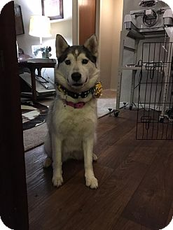 Siberian Husky Dog for adoption in Broken Arrow, Oklahoma - Jayda
