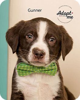 Labrador Retriever Mix Puppy for adoption in Cincinnati, Ohio - Gunner