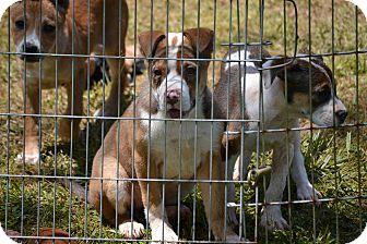 Hound (Unknown Type) Mix Puppy for adoption in Richmond, Virginia - Daisy