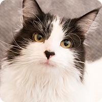 Adopt A Pet :: Baloo - Chicago, IL