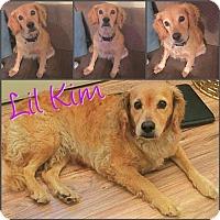 Golden Retriever/Cocker Spaniel Mix Dog for adoption in Little Rock, Arkansas - Kim