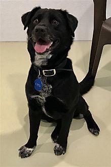 Labrador Retriever Mix Dog for adoption in North Branch, New Jersey - Zach