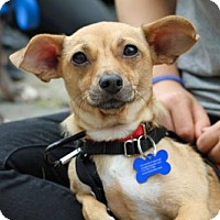 Adopt A Pet :: Sofia Vergara - Brooklyn, NY