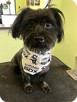 Shih Tzu Mix Dog for adoption in Plainfield, Illinois - Charlie