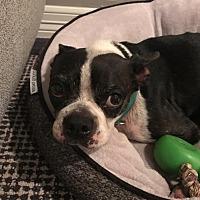 Adopt A Pet :: Yankee - medical hold - Irving, TX
