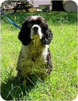 Cocker Spaniel Mix Dog for adoption in Peachtree City, Georgia - Bismarck