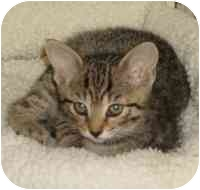 Domestic Shorthair Kitten for adoption in Tampa, Florida - Clarise